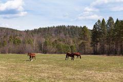 Sunny landscape of ural meadow and horses Stock Images
