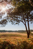 Sunny landscape view with pine trees Stock Images