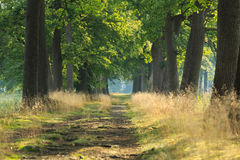 Sunny lane of tree's Royalty Free Stock Image