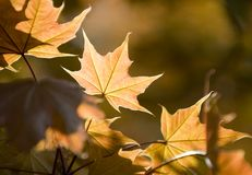 Sunny leaf. A maple leaf in the sunlight Stock Images