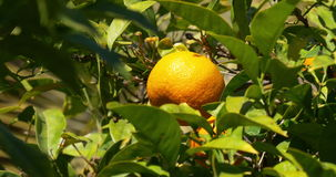 Sunny light 4k close up of mandarin tree stock video