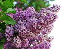 Sunny lilac Stock Image