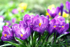 Sunny Lilac Crocuses Royalty Free Stock Photo