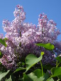 Sunny lilac inflorescence on blue sky Stock Photo