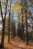 Sunny linden alley in september. With yellow and orange leafs that fall down Royalty Free Stock Photography