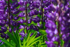 Sunny lupine lupinus thickets stock image