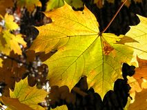 Sunny maple leaf Stock Image