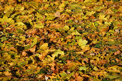 Sunny maple leaves Stock Image