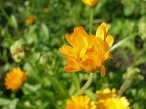 Sunny Marigold on green background. Developing marigold on green background Stock Images