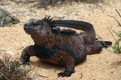 Sunny Marine Iguana imagen de archivo libre de regalías