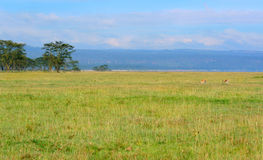 Sunny meadow. Africa. Kenya. Lake Nakuru stock photos