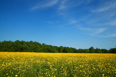 Sunny meadow. Full of yellow flowers against bright blue sky Stock Photography