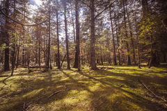 Sunny meadow. Alpine forest at an altitude of over 2,000 meters Royalty Free Stock Photos