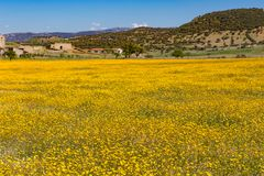 Sunny meadow with blanket of yellow flowers. Mediterranean sunny meadow with a blanket of yellow flowers and some buildings in the back Stock Photo