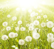 Sunny meadow with dandelions Stock Photos
