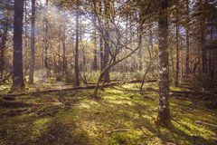Sunny meadow in the forest. Alpine forest at an altitude of over 2,000 meters Royalty Free Stock Photos