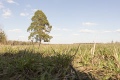 Sunny meadow with lonely tree. Spring landscape sunny meadow with a lonely standing tree Royalty Free Stock Images