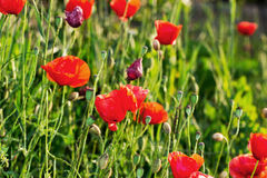 Sunny meadow with red poppies Stock Image
