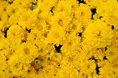 Sunny Monica Yellow Chrysanthemum Plant is flowers background Stock Images