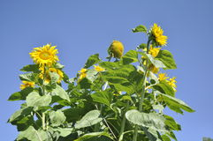 Sunny mood. Sunflowers in the sunny day Royalty Free Stock Image