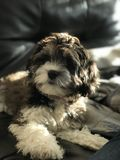 Sunny morning. Cockapoo in the sunshine royalty free stock image