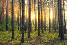 Sunny morning. Cold sunrise in the forest Stock Images