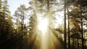 Sunny morning forest stock footage