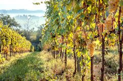 Sunny morning in green grapevine of italian wineyard. Colorful vineyard landscape in Tuscany.  stock photo