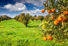 Sunny morning in orange garden in Sicily Royalty Free Stock Photos