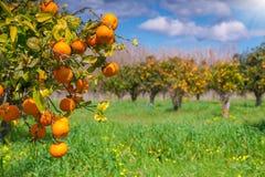 Sunny morning in orange garden in Sicily Stock Photography