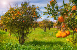 Sunny morning in orange garden in Sicily Stock Photos