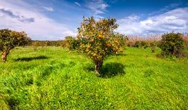 Sunny morning in the orange garden in Sicily, Italy, Europe. Stock Image