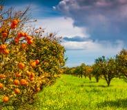 Sunny morning in orange garden in Sicily Royalty Free Stock Image