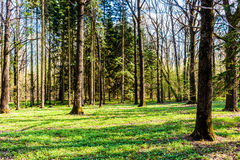 Sunny morning in the spring forest Stock Photography