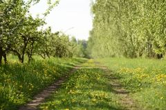 Sunny morning in spring orchard. Empty country road with green g Stock Image