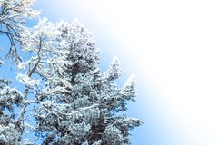 Sunny morning in the winter forest. Snow on pine branches. Copy space for text stock photos