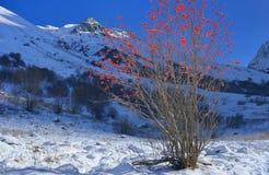 Sunny mountain ash Royalty Free Stock Photo
