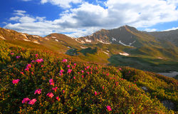 Sunny mountain ridge landscape in spring with Rhododendron flowe Royalty Free Stock Photo