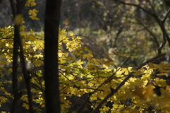 Sunny nature background with autumn yellow tree branches. The golden rays. Stock Images