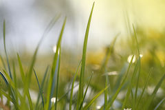Sunny Nature Green gräs stänger sig på våren upp Arkivfoton