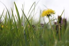 Sunny Nature Green gräs stänger sig på våren upp Royaltyfria Foton