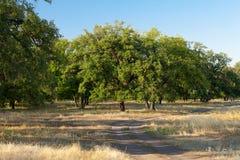 Sunny oaks Stock Photo