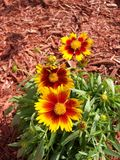 Sunny orange and yellow Coreopsis flowers in the garden. Sunny orange and yellow Coreopsis flowers in the mulched Spring garden stock image