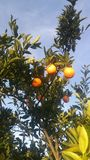Sunny Oranges Photographie stock libre de droits