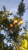 Sunny oranges Royalty Free Stock Photography
