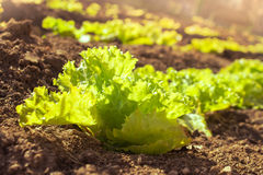 Sunny organic lettuce growing in the garden Stock Images