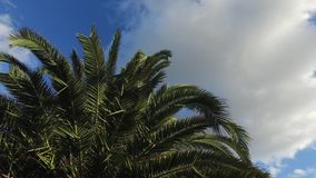 Sunny palm tree in gentle tropical breeze. HD stock video