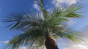 Sunny palm tree in gentle tropical breeze. HD stock video footage