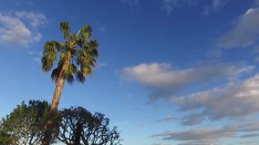 Sunny palm tree in gentle tropical breeze. Steadycam stock video