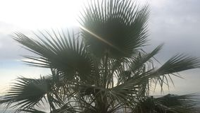 Sunny palm tree.Palm tree in gentle tropical breeze.  stock video footage